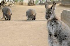 Nettes Wallaby, das mit verwirrtem Gesicht anstarrt Stockfotografie