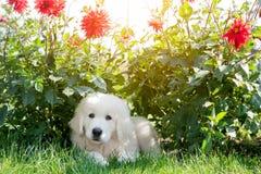 Nettes weißes Hündchen, das auf Gras in den Blumen liegt Stockbilder