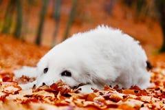 Nettes weißes Hündchen, das in den Blättern im Herbstwald liegt Stockbilder