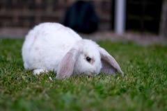 Nettes weißes Kaninchen Stockfoto