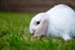 Nettes weißes Kaninchen Stockbild