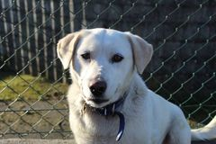 Nettes weißes Labrador-Hundelächeln lizenzfreie stockfotos