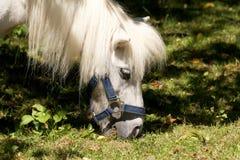 Nettes weißes Pony Lizenzfreie Stockfotos