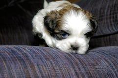 Nettes weißes und braunes Shih Tzu Puppy auf blauer Couch stockbilder