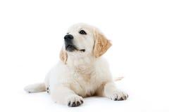 Nettes Welpenlügen des goldenen Apportierhunds Stockbilder