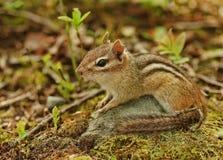 Nettes wenig Streifenhörnchenfaulenzen Lizenzfreie Stockfotografie