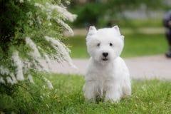 Nettes Westhochland weißes Terrier in einem üppigen Park Lizenzfreies Stockfoto