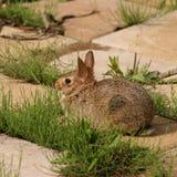 Nettes wildes Kaninchen Lizenzfreies Stockbild