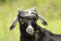 Nettes Ziegenkind, das Gras weiden lässt Lizenzfreies Stockfoto