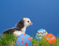 Nettes zweifarbiges Ostern-Küken im Gras Lizenzfreies Stockfoto