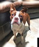 Nettester Boston-Terrierwelpe überhaupt stockfotos