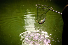 Netting a fish. In lake Stock Image