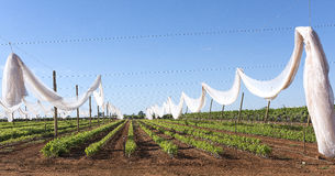 Netting Protection and Grape Vines. Construction of white netting crop protection covers over young grapes vine cuttings Stock Image
