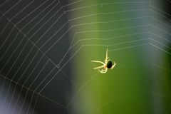Netting Spiders Stock Image