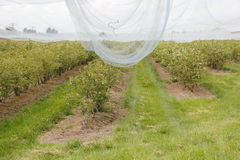 Netting to Protect Berry Crop Royalty Free Stock Photography