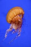 nettle θάλασσα στοκ φωτογραφίες με δικαίωμα ελεύθερης χρήσης