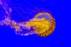 Nettle θάλασσας Στοκ Φωτογραφία