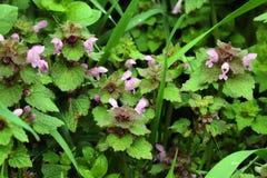 Nettle λουλουδιών Στοκ Φωτογραφίες