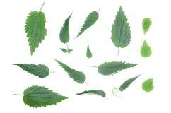 Nettle φύλλα που απομονώνονται Στοκ εικόνα με δικαίωμα ελεύθερης χρήσης