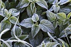 Nettle φύλλα που καλύπτονται με τον παγετό στοκ εικόνες με δικαίωμα ελεύθερης χρήσης