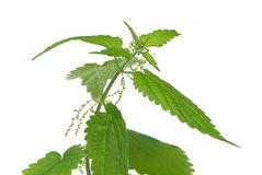 Nettle 05 Royalty Free Stock Images