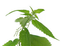 Nettle 06 Stock Images