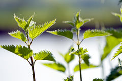 Nettle 1 Royalty Free Stock Image