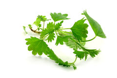 Nettle. Fresh green nettle on a white background royalty free stock photography