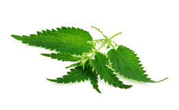 Nettle. The fresh nettle isolated on white background stock image