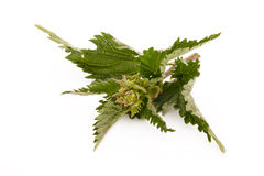 Nettle. Medicinal herbs nettle isolated on white royalty free stock photos