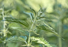 Nettle. Leaves and stalk of a green nettle royalty free stock photos
