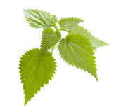Nettle. Isolated on white background stock images