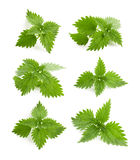Nettle. Isolated on a white background stock photo