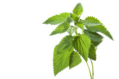Free Nettle Royalty Free Stock Image - 27011736