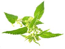 Nettle Royalty Free Stock Photos