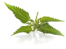 Nettle royalty free stock photography