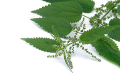 Nettle Royalty Free Stock Image