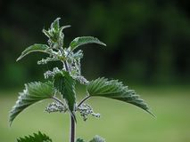 Nettle Stock Photos
