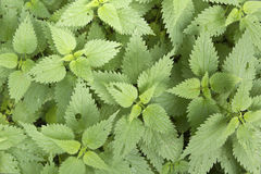 Nettle background Royalty Free Stock Photos