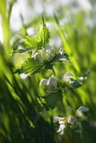 Nettle. Bloom on the spring meadow Royalty Free Stock Photo