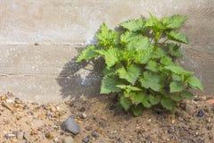 Nettle bush on the sand Stock Photography
