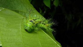 Caterpillar on leaves in tropical rain forest. Nettle Caterpillar Parasa lepida on leaves in tropical rain forest. Its fur is severe poisoning stock footage