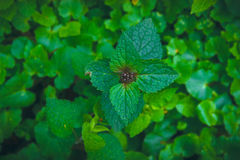 Nettle at darkness. Urtica. Stock Images