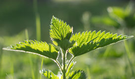 Nettle. Detailed photo of the sunny spring green nettle stock photos