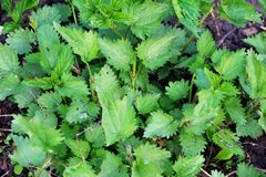 Nettle is a dioecious perennial herbaceous plant. Weed, medicinal and edible plant Stock Photos