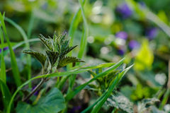 Nettle in the field. Small nettle close up on a field stock photo