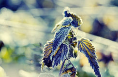 Nettle. First frost (Urtica, nettle, stinging nettles stock photos
