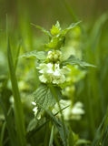 Nettle flower Royalty Free Stock Images