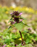 Nettle flower Stock Photos