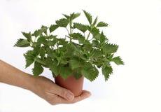 Nettle in flowerpot Stock Photography